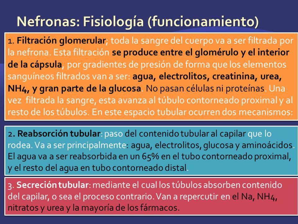 Nefronas: Fisiología (funcionamiento)