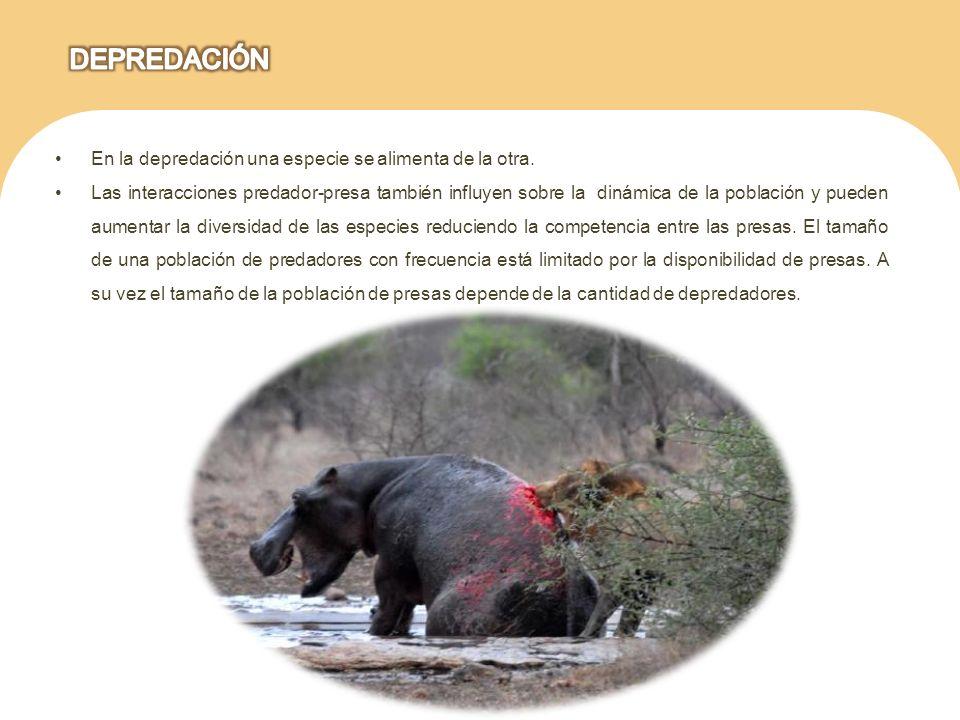 DEPREDACIÓN En la depredación una especie se alimenta de la otra.