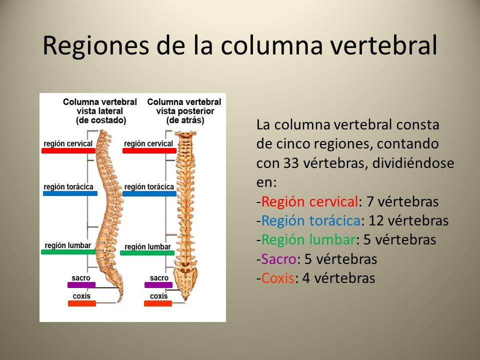 Magnífico Columna Vertebral Anatomía Ppt Ornamento - Anatomía de Las ...