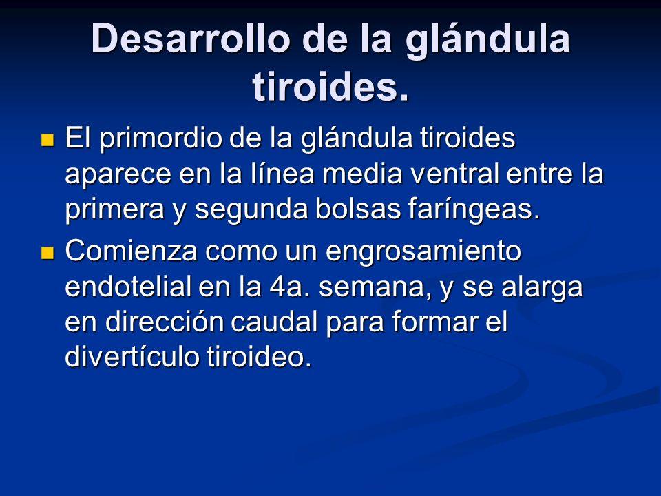 Desarrollo de la glándula tiroides.