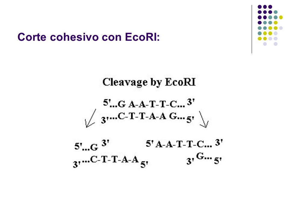 Corte cohesivo con EcoRI:
