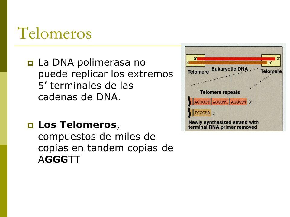 Telomeros La DNA polimerasa no puede replicar los extremos 5' terminales de las cadenas de DNA.