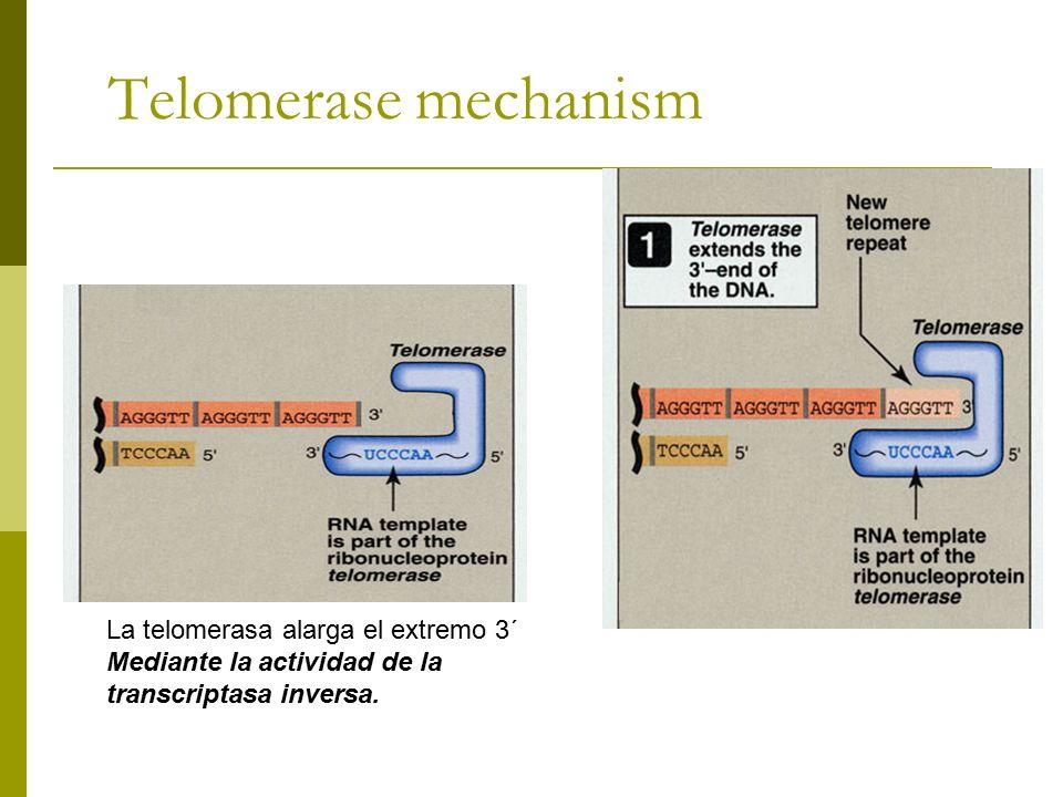 Telomerase mechanism La telomerasa alarga el extremo 3´