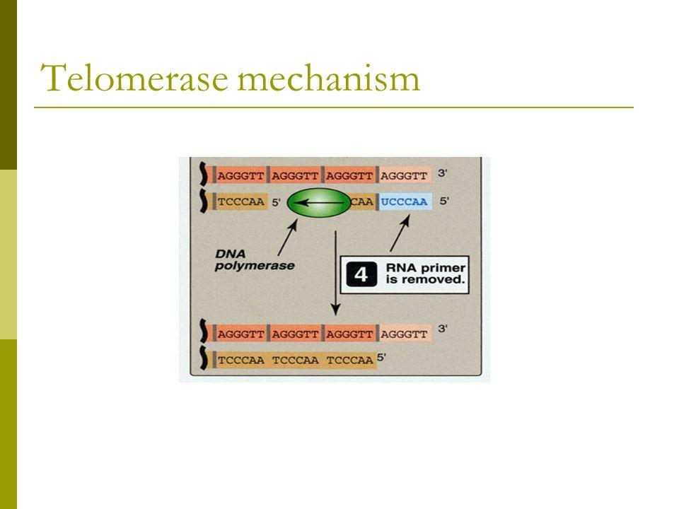 Telomerase mechanism
