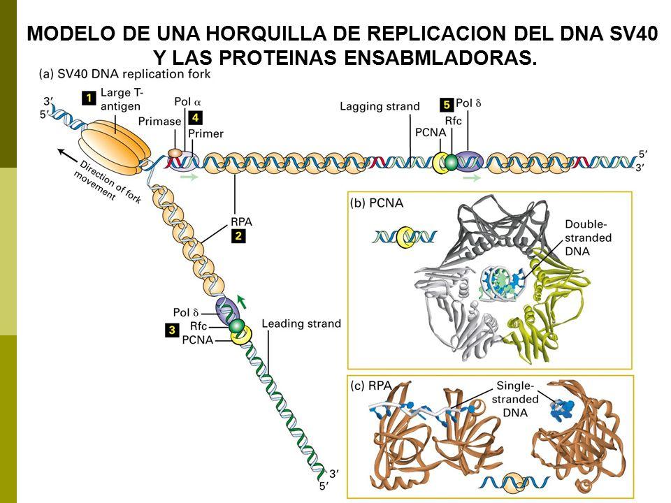 MODELO DE UNA HORQUILLA DE REPLICACION DEL DNA SV40