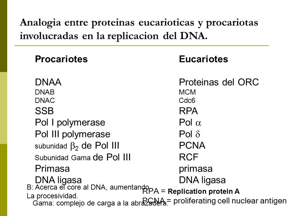 Analogia entre proteinas eucarioticas y procariotas involucradas en la replicacion del DNA.