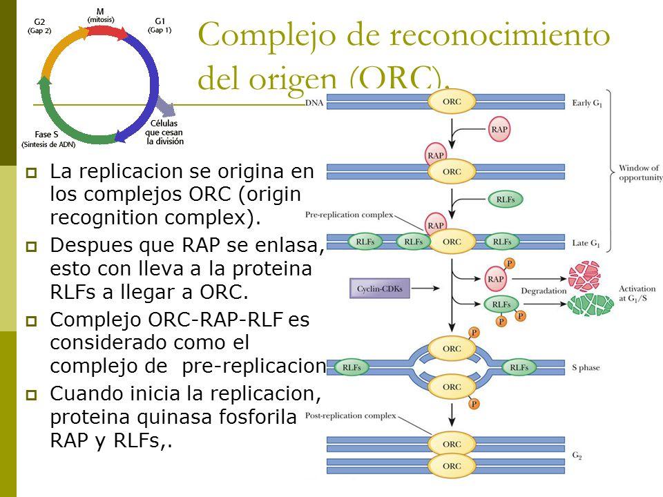 Complejo de reconocimiento del origen (ORC).