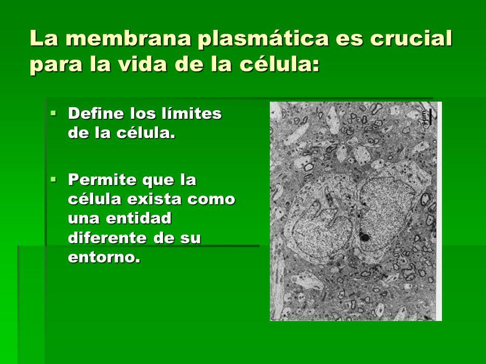 La membrana plasmática es crucial para la vida de la célula: