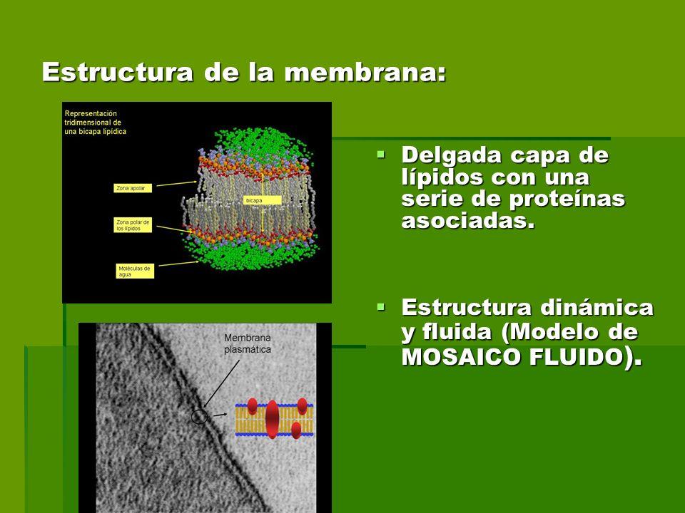 Estructura de la membrana: