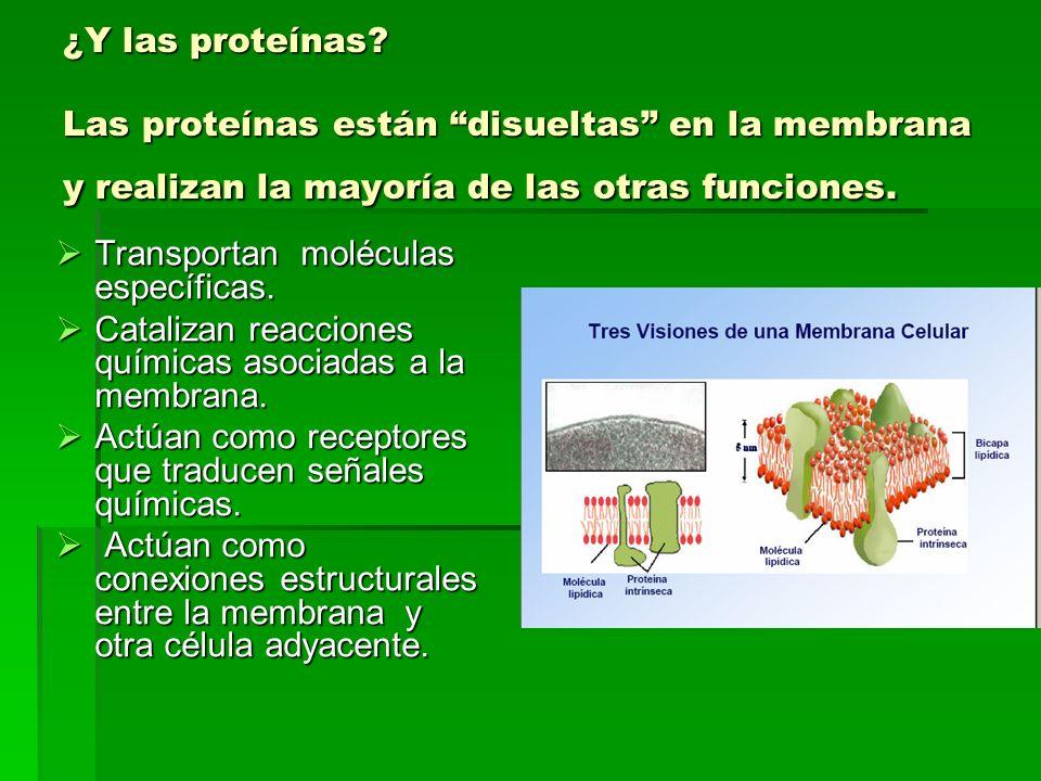 ¿Y las proteínas Las proteínas están disueltas en la membrana y realizan la mayoría de las otras funciones.