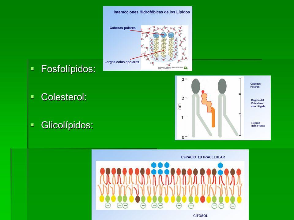Fosfolípidos: Colesterol: Glicolípidos: