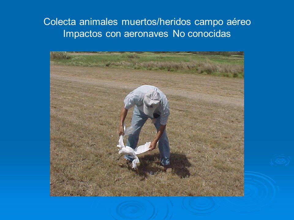 Colecta animales muertos/heridos campo aéreo Impactos con aeronaves No conocidas