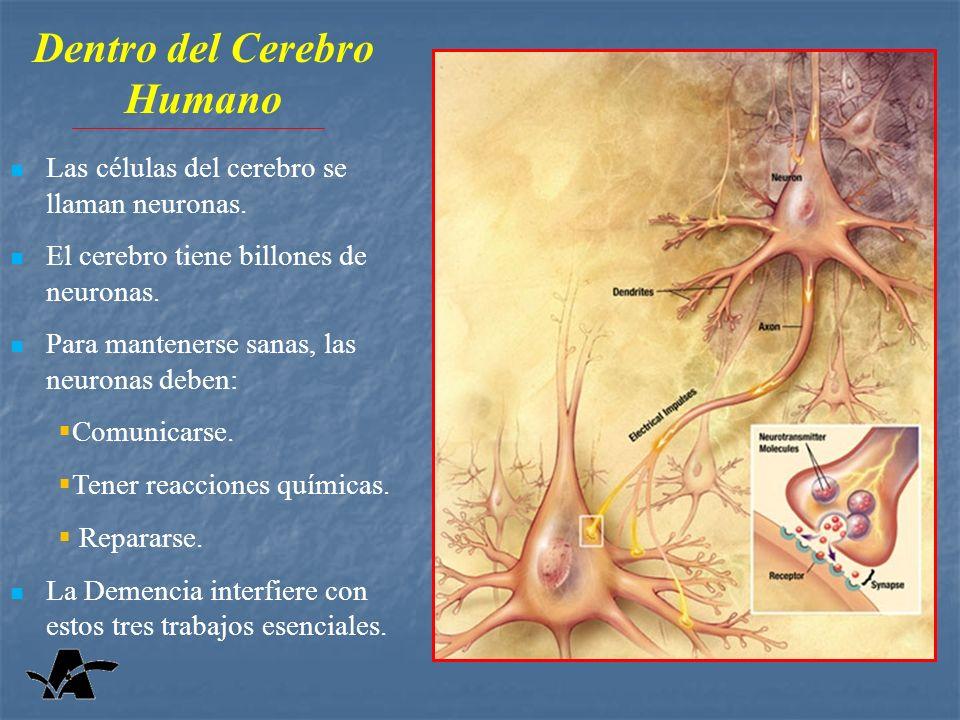 Dentro del Cerebro Humano