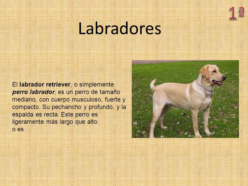1ª Labradores.
