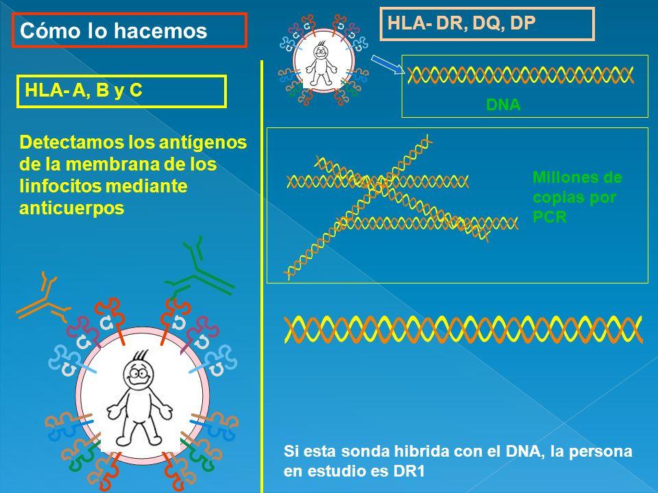 Cómo lo hacemos HLA- DR, DQ, DP HLA- A, B y C