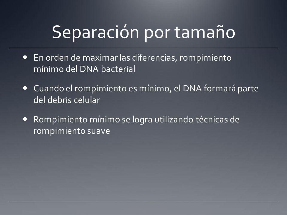 Separación por tamaño En orden de maximar las diferencias, rompimiento mínimo del DNA bacterial.