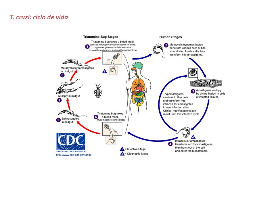 T. cruzi: ciclo de vida