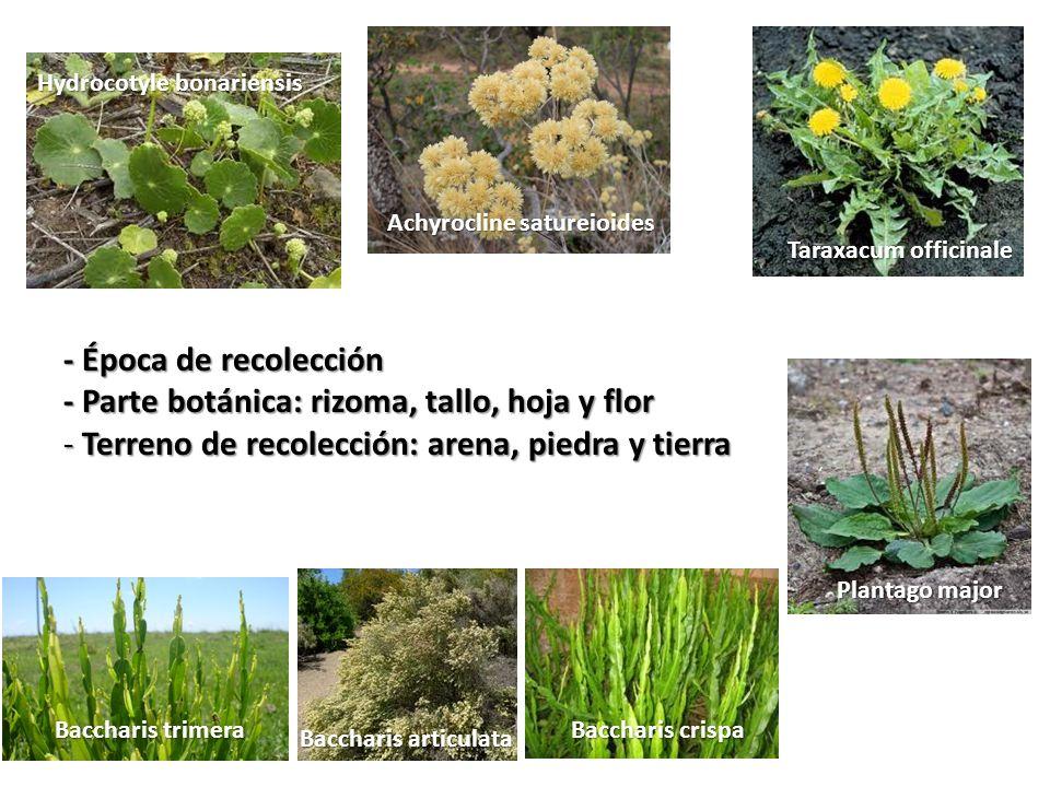 - Parte botánica: rizoma, tallo, hoja y flor