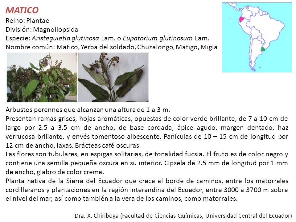 MATICO Reino: Plantae División: Magnoliopsida