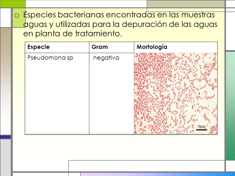 Especies bacterianas encontradas en las muestras aguas y utilizadas para la depuración de las aguas en planta de tratamiento.