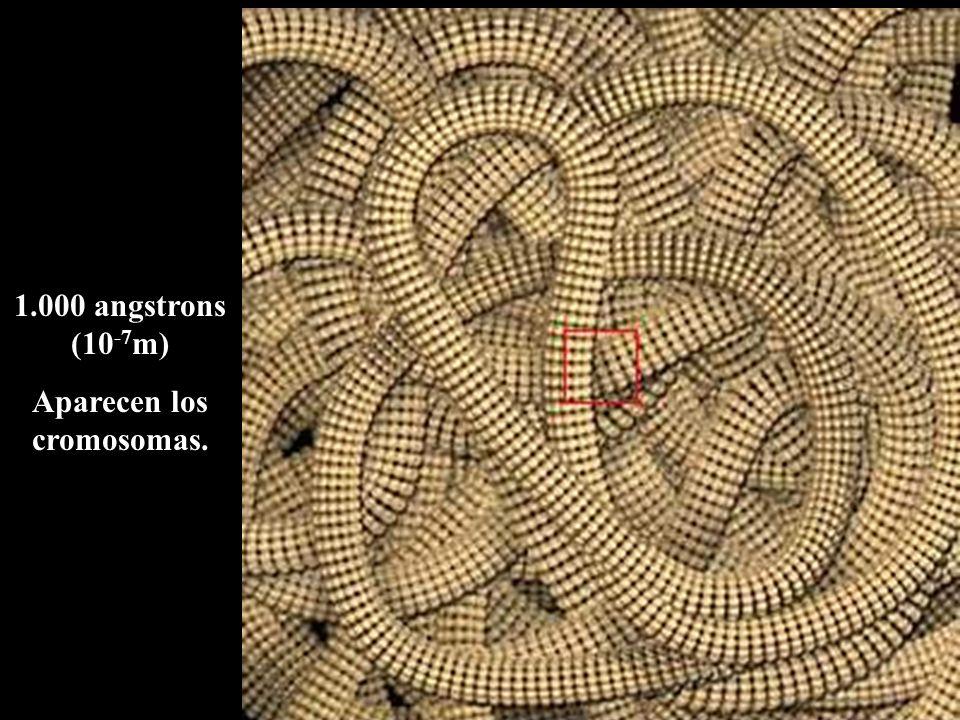 Aparecen los cromosomas.