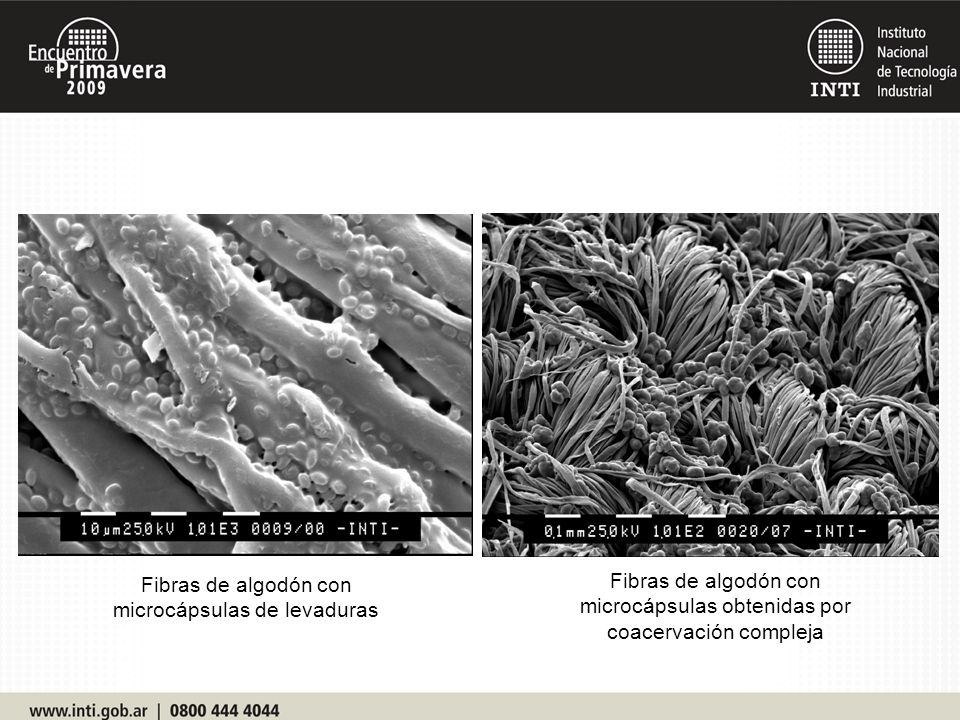 Fibras de algodón con microcápsulas de levaduras