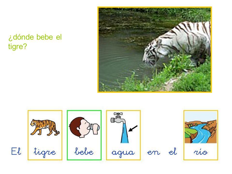 ¿dónde bebe el tigre