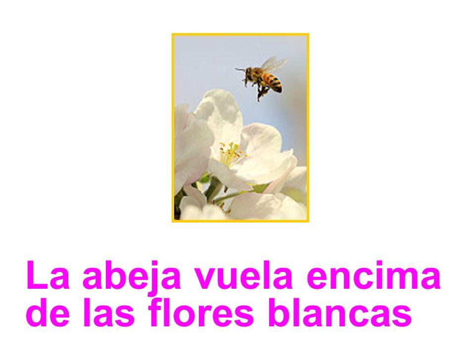 La abeja vuela encima de las flores blancas