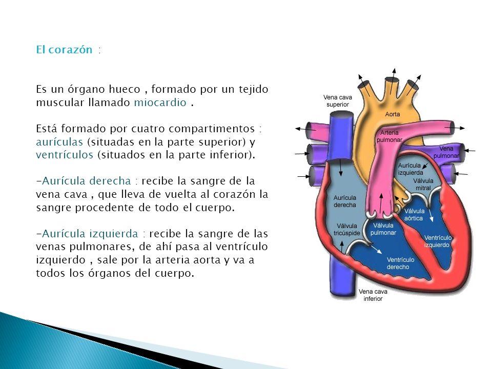 El corazón : Es un órgano hueco , formado por un tejido muscular llamado miocardio .