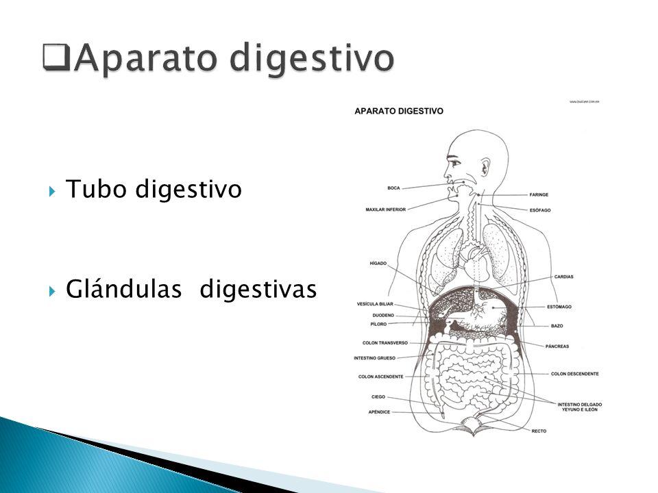 Aparato digestivo Tubo digestivo Glándulas digestivas