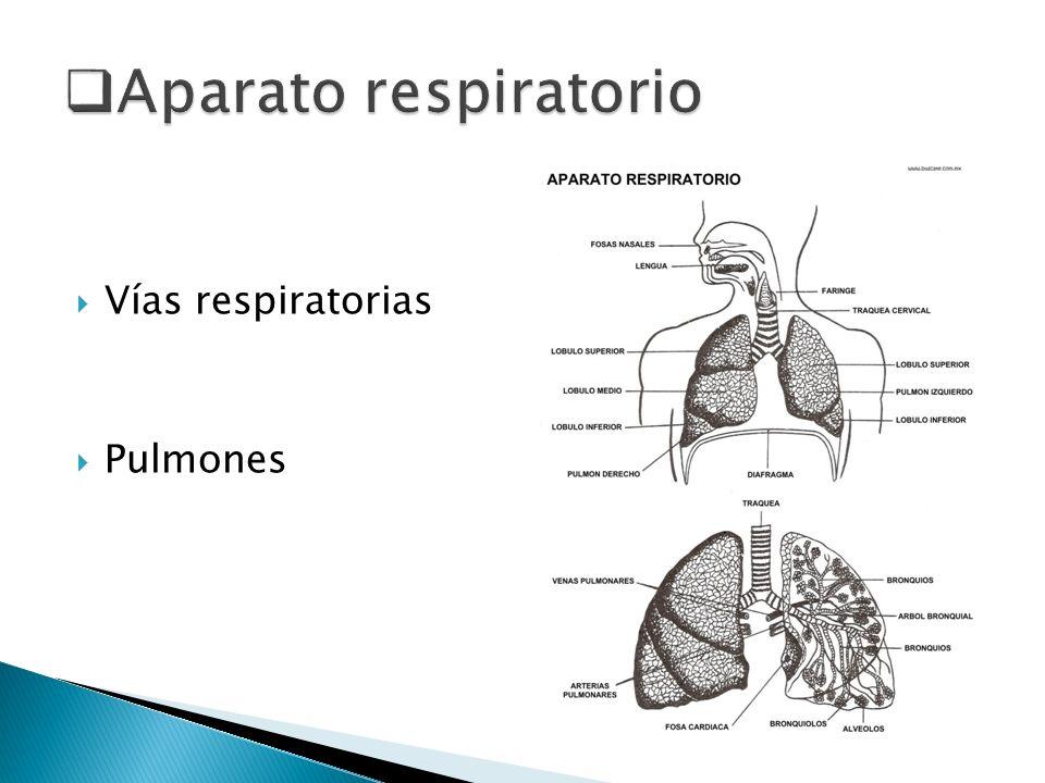 Aparato respiratorio Vías respiratorias Pulmones