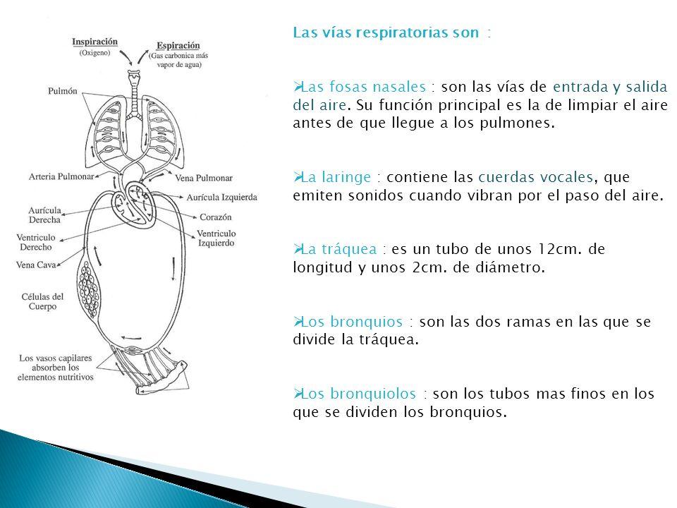 Las vías respiratorias son :