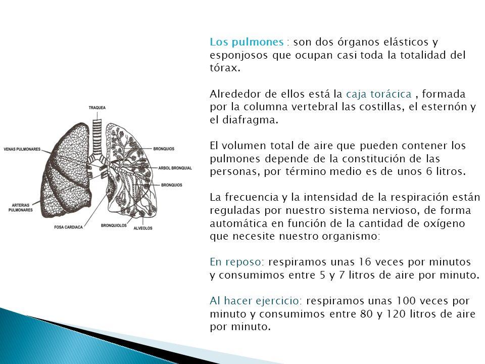 Los pulmones : son dos órganos elásticos y esponjosos que ocupan casi toda la totalidad del tórax.