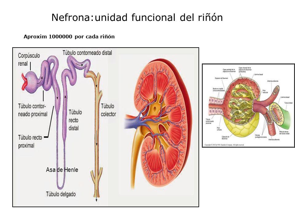 Lujoso Anatomía Funcional Del Riñón Festooning - Anatomía de Las ...