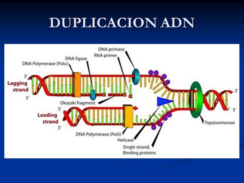 DUPLICACION ADN