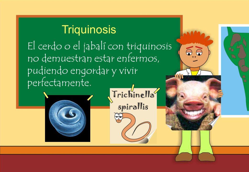 Triquinosis El cerdo o el jabalí con triquinosis no demuestran estar enfermos, pudiendo engordar y vivir perfectamente.