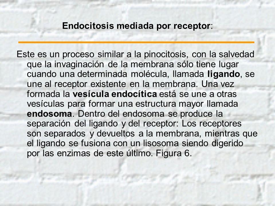 Endocitosis mediada por receptor:
