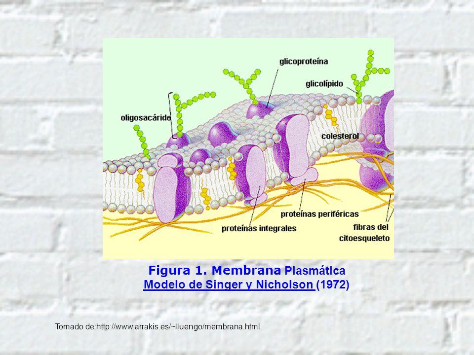 Figura 1. Membrana Plasmática Modelo de Singer y Nicholson (1972)