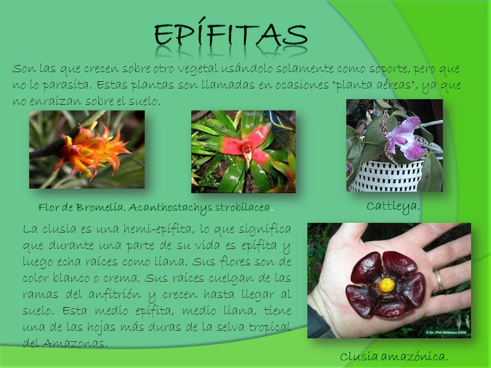 Epífitas