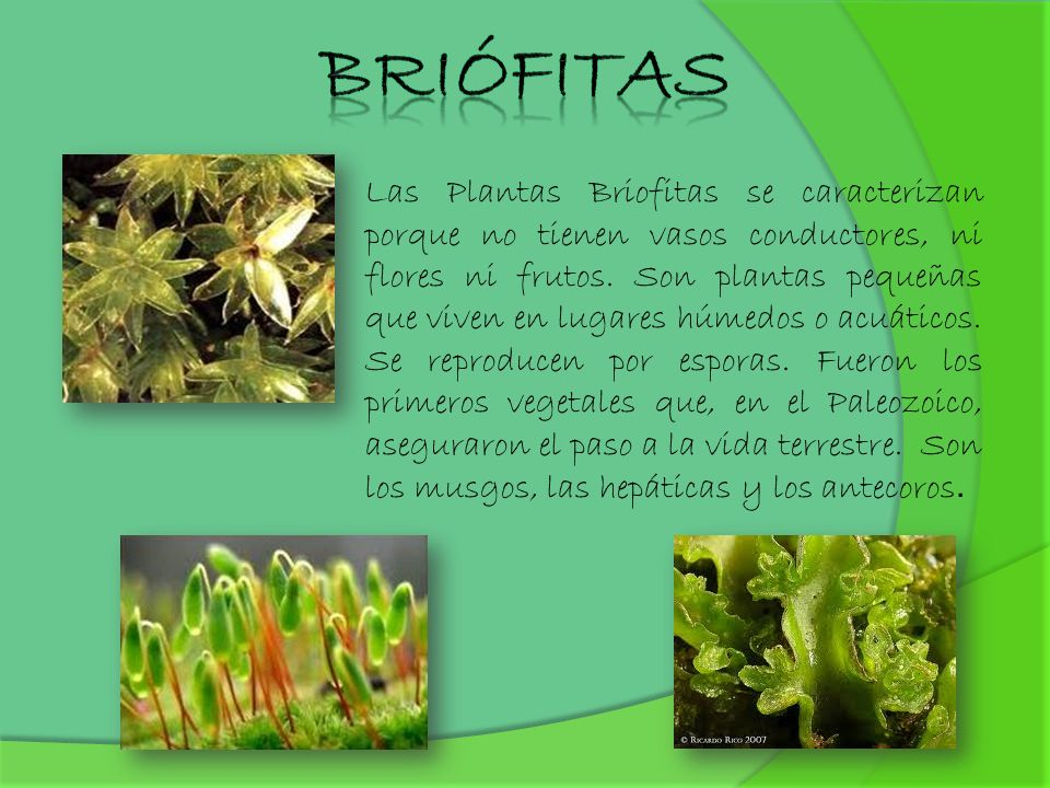 Briófitas