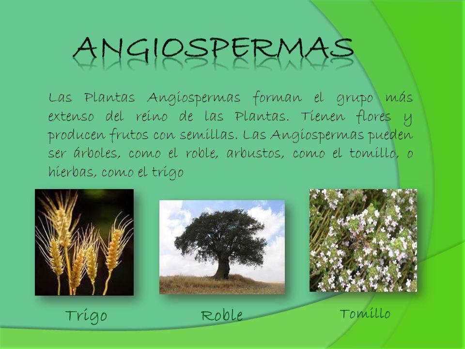 Angiospermas Trigo Roble