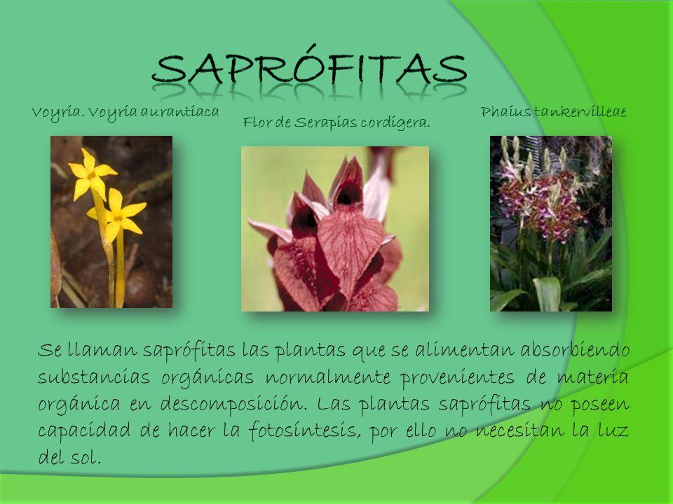 Saprófitas Voyria. Voyria aurantiaca. Phaius tankervilleae. Flor de Serapias cordigera.