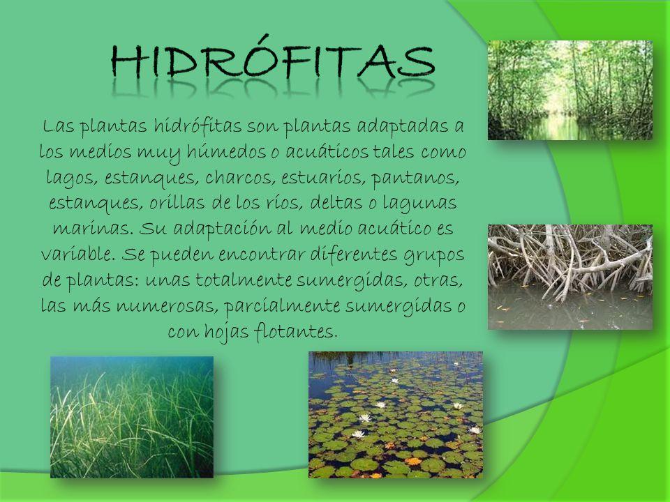 Hidrófitas