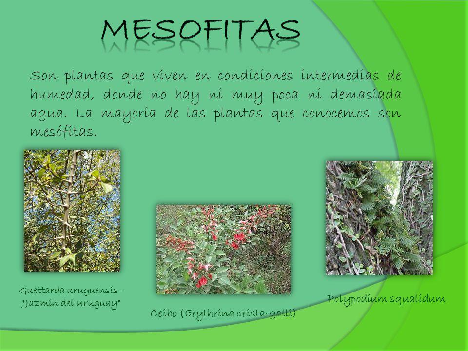 Guettarda uruguensis - Jazmín del Uruguay