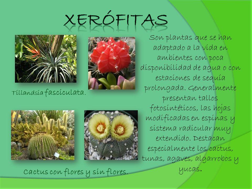 Xerófitas