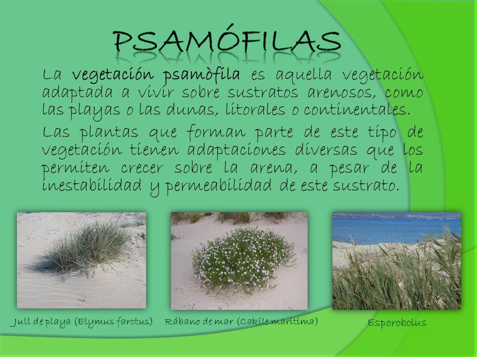 Psamófilas