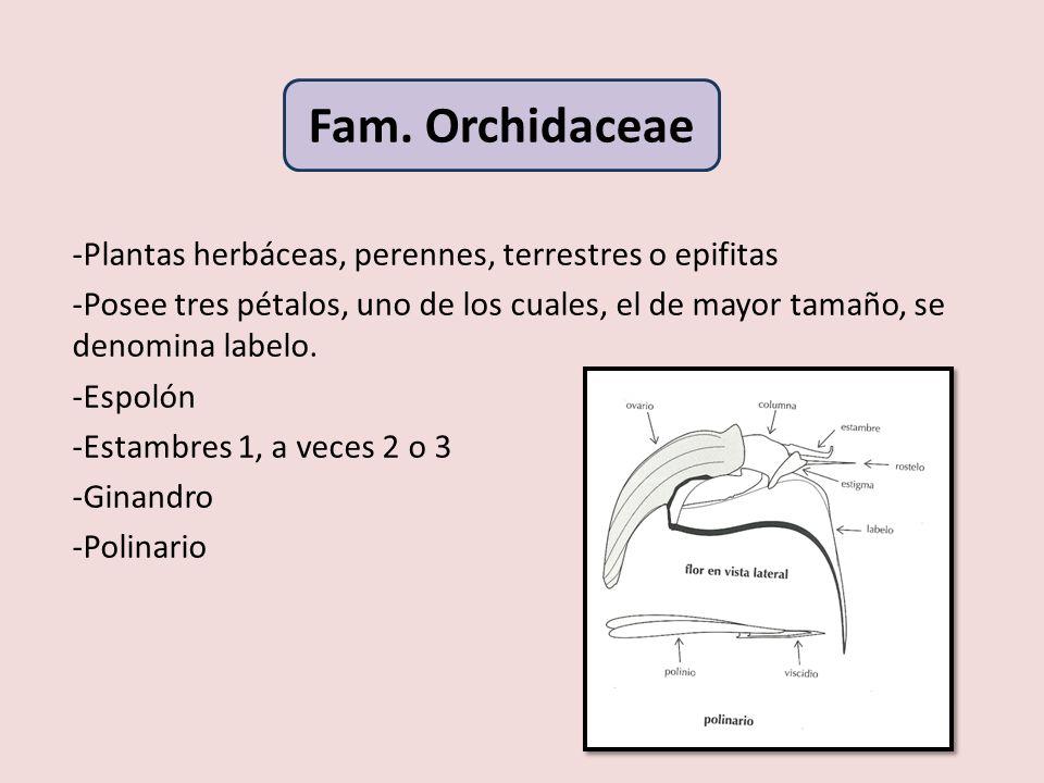 Fam. Orchidaceae