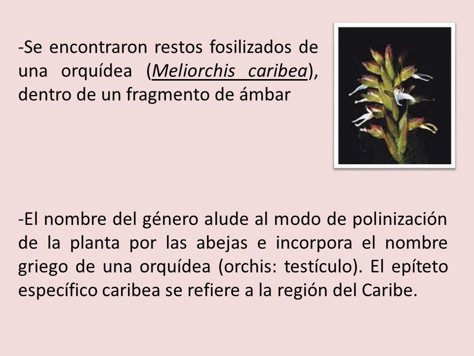 -Se encontraron restos fosilizados de una orquídea (Meliorchis caribea), dentro de un fragmento de ámbar