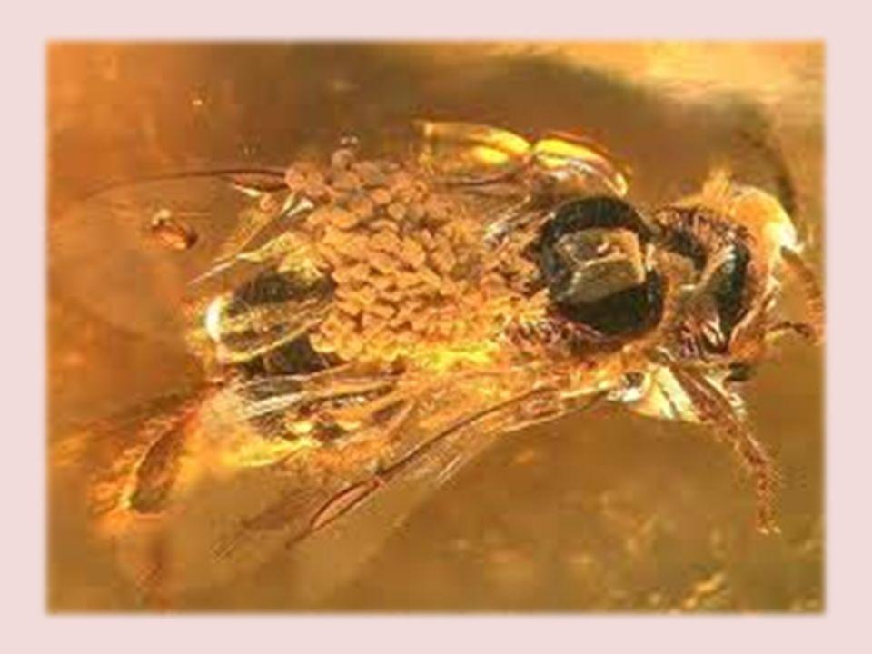 -El polen se encontró en el tórax de una Abeja obrera (Problebeia dominicana).