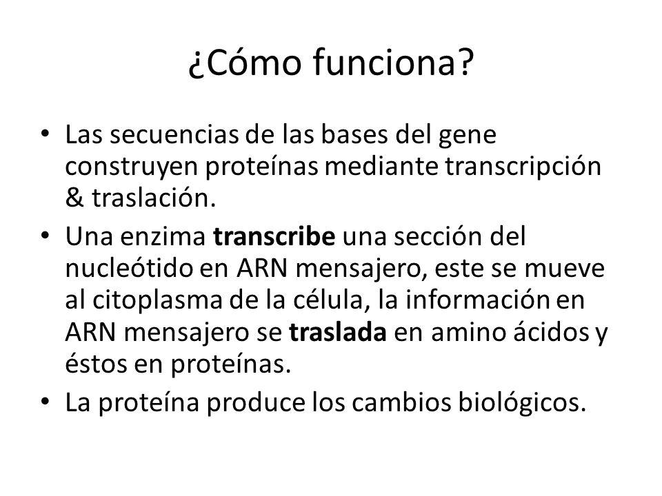 ¿Cómo funciona Las secuencias de las bases del gene construyen proteínas mediante transcripción & traslación.